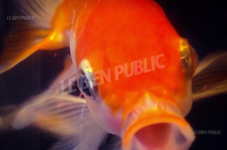 Bien etre poisson rouge